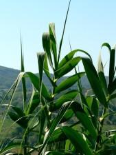 green leaves, corn, field