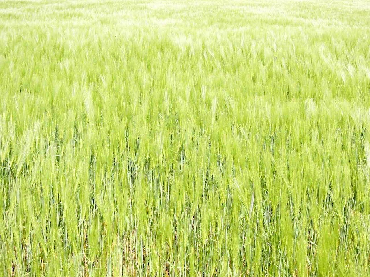 Free photograph; light, green, oats, field