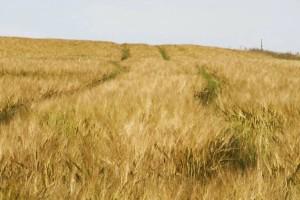 mature, grain, fields