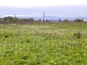 prairie, saxifrage, Camas, fleurs, plantes