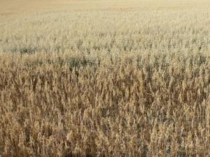 oats, big, field