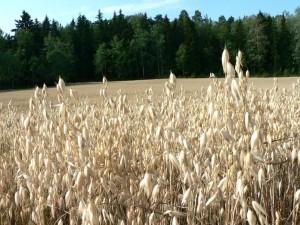 oats, field