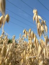l'avoine, les céréales, les plantes, sur le terrain