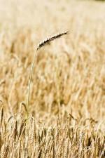 oats, mature, field