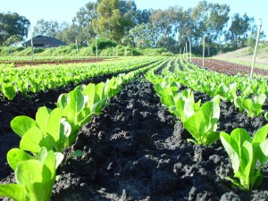 seedlings, rows