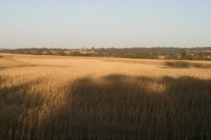 그림자, wheatfield, 수확, swathes