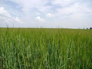 sown, agricultural, land