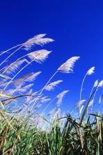 sugarcane, field