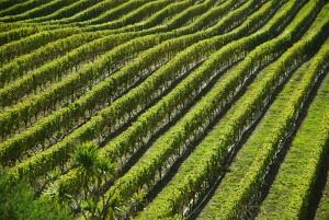 vineyard, field