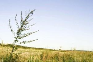 Unkraut, Pflanze, Feld