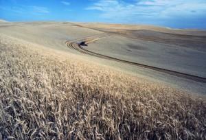 le blé, la récolte, le champ