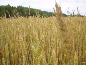 blé, jaune, champ