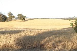 wheatfield organique, été, domaine agricole