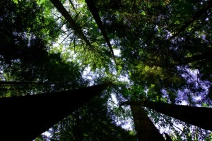 old, growth, canopy, trees