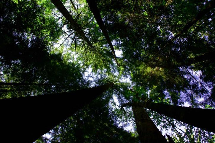 régi, a növekedés, a lombkorona, a fák