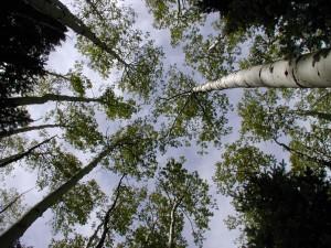 aspen, canopy, slope, Fransisco, peaks