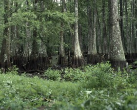 up-close, swamp area, forest, trees