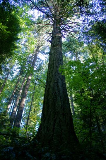 vieux, croissance, douglas, tours, vieux, croissance, forêt