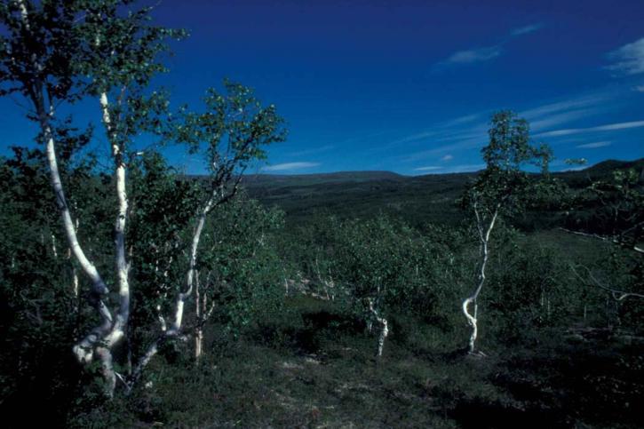 birch, forest