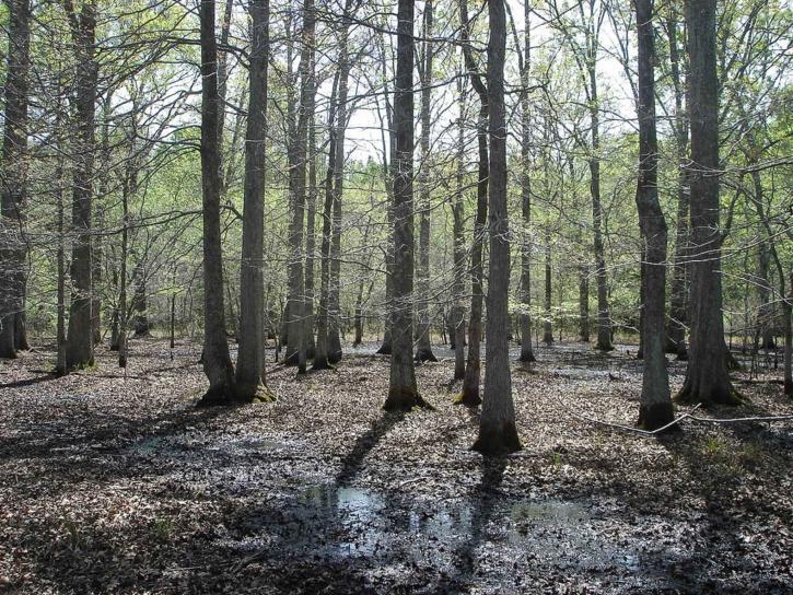 bottomland, hardwood, forest, little, river, wilderness, refuge