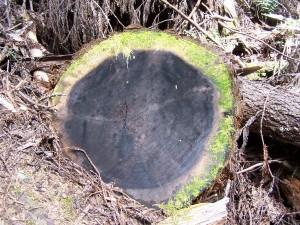 croix, section, séquoia