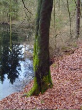 темные, мшистые, дерево., ствол.