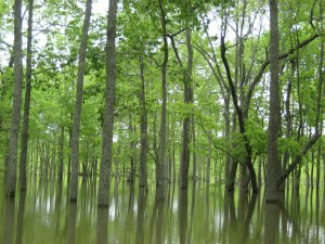 allagate, bottomland, legno, foreste