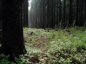foresta, crepuscolo