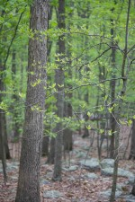feuillus, forêt, vert, feuillage
