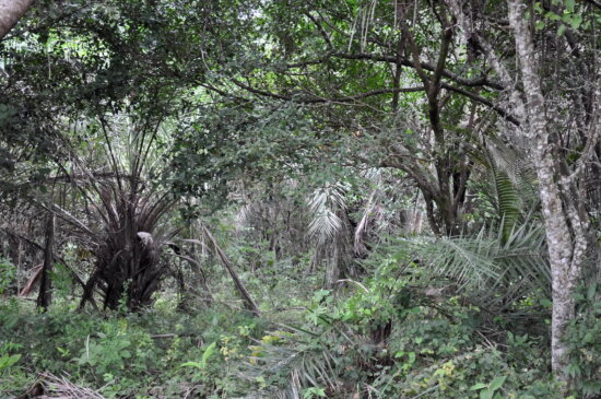 impenetrable, tropical, forest