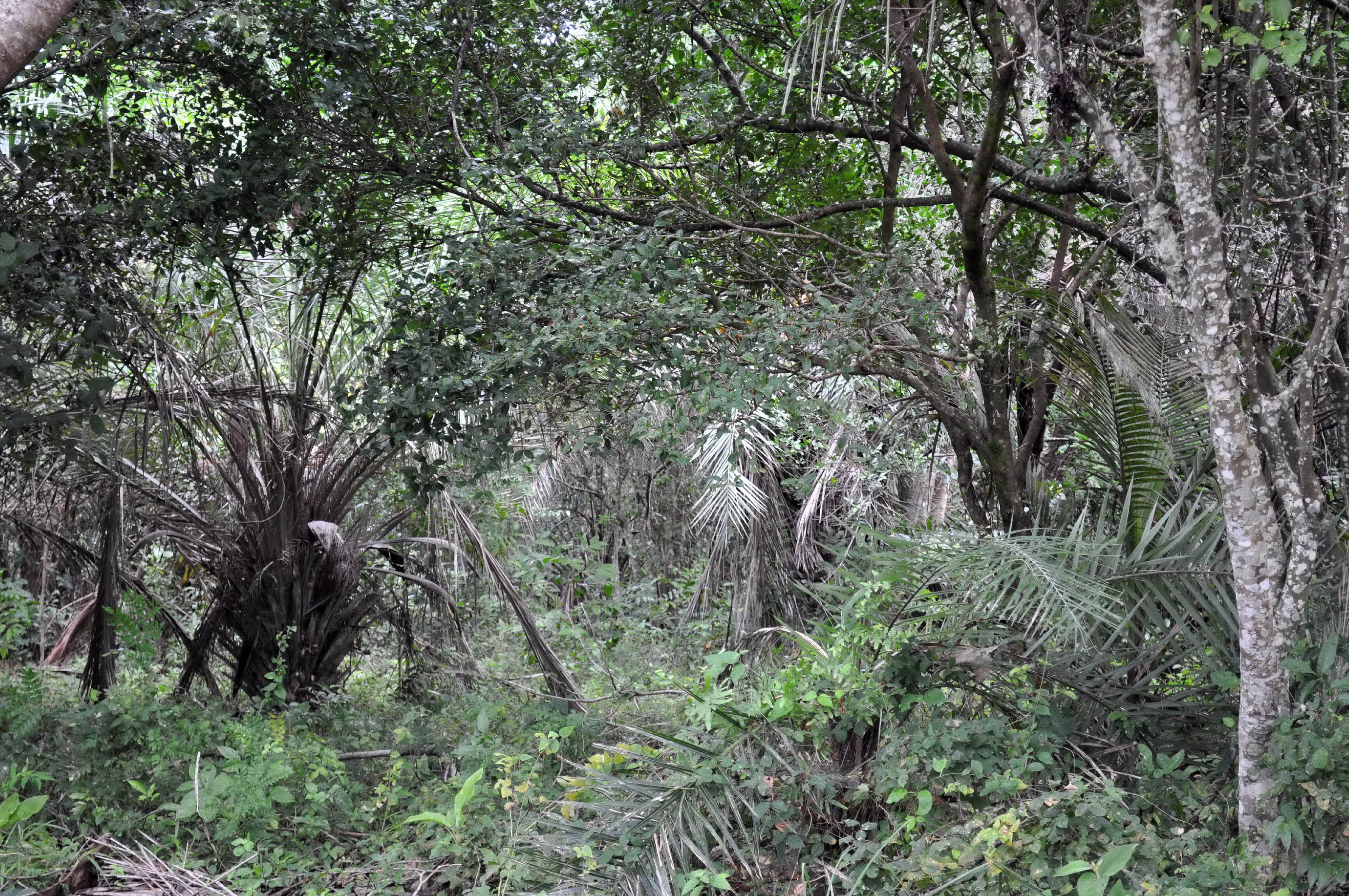 Free photograph; impenetrable, tropical, forest