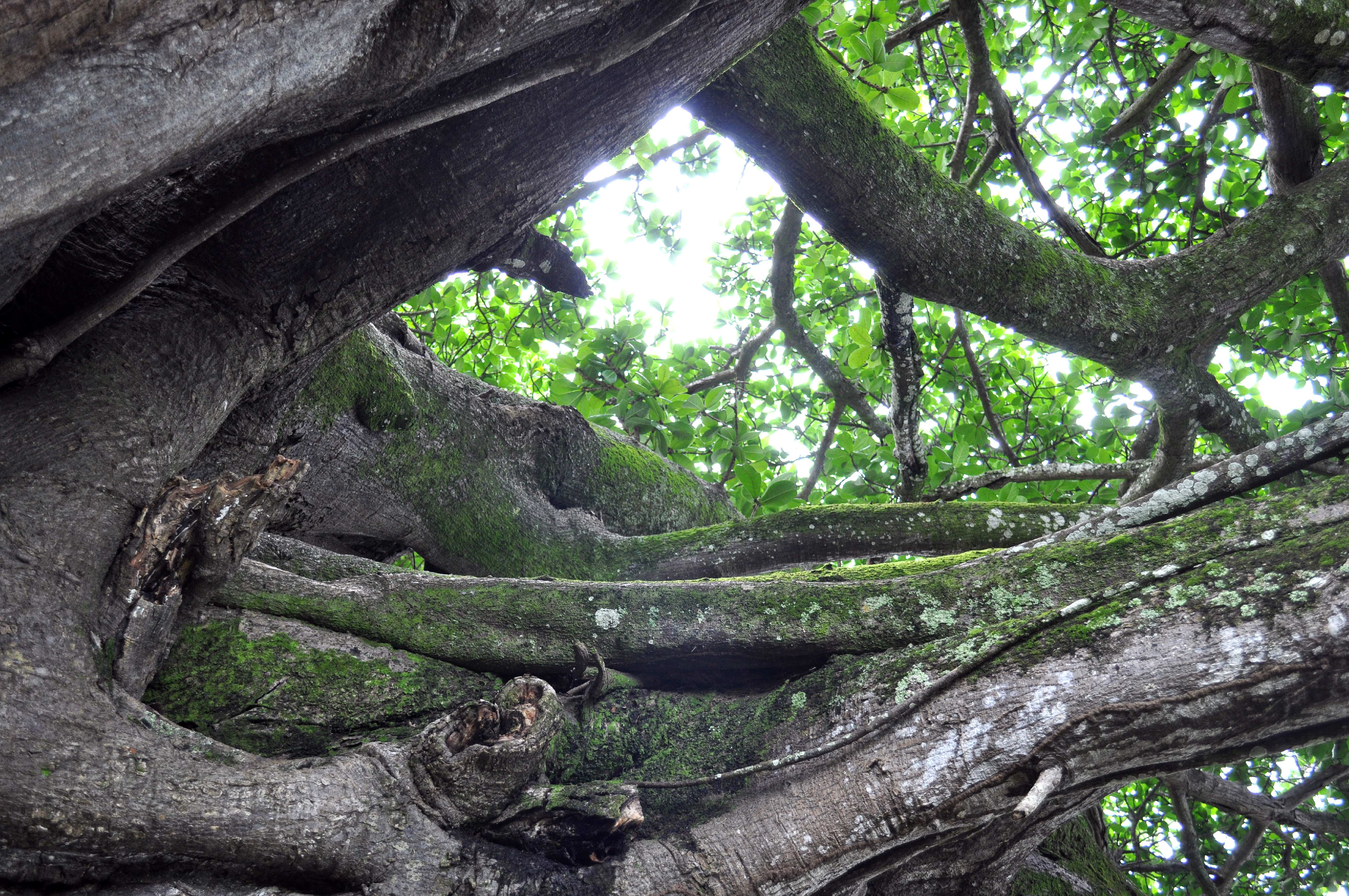 Free photograph; intertwined, branches, trees, wood