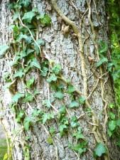 Ivy, klatring, tre