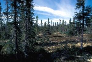 bas, croissance, ouvert, forêt, principalement, noir, épinette, entremêlés, les tourbières