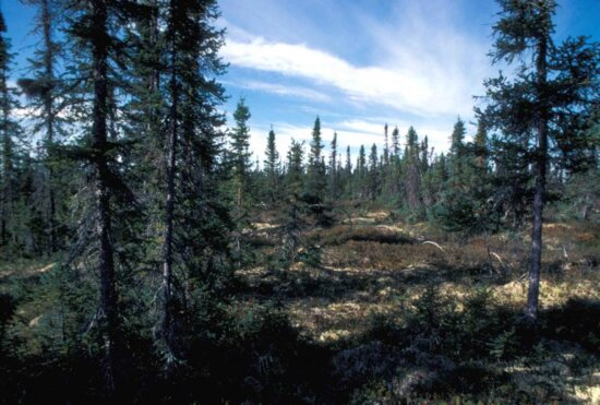 low, growing, open, forest, primarily, black, spruce, interspersed, bogs