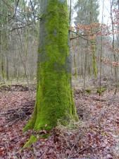 obrastao mahovinom, stablo, deblo