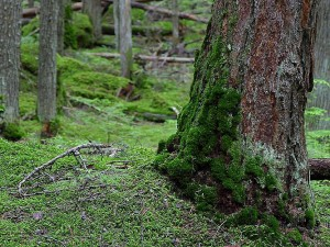 mossy, trees, forests, woods