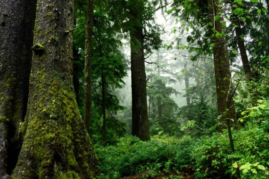 old, growth, forest, scenic