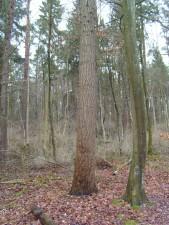 сосна, дерево, ствол