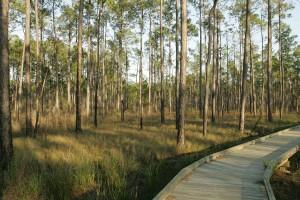 소나무 숲, picoides, 보 리 얼 리스