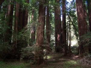redwoods, Meir, park
