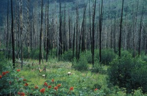 regrowth, forest, fire