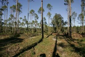 restauré, pin, forêt, habitat, pin, forêt