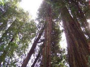 Sunce, redwoods