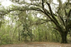 Espagnol, mousse, gouttes, grand, arbre, maritime, forêt