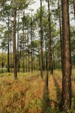 wet, pine, savanna, forest
