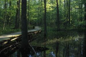 wooden, board, pathway, wetland, habitat