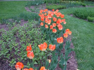 fleurs, jardin, lumière rouge, fleur de tulipe
