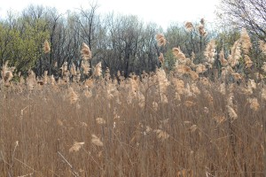 up-close, phragmites, grasses