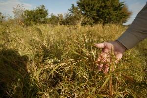 up-close, buffle, grass, invasive